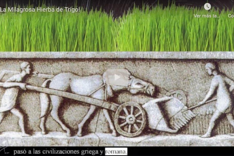 hierba trigo 1